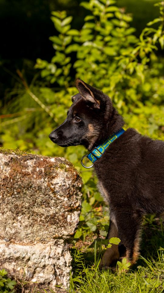 Photographe-canin-maxime-arnaudet-husky-8