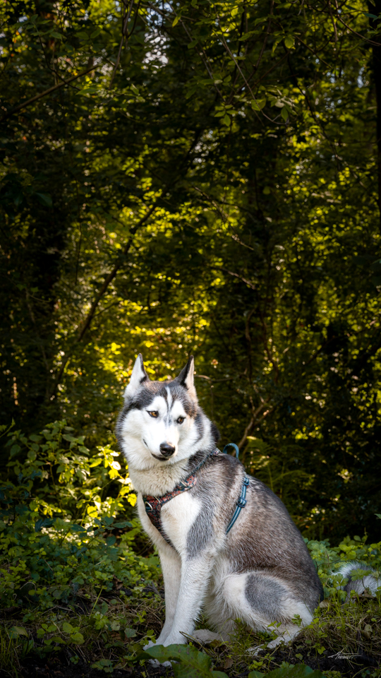 Photographe-canin-maxime-arnaudet-husky-7
