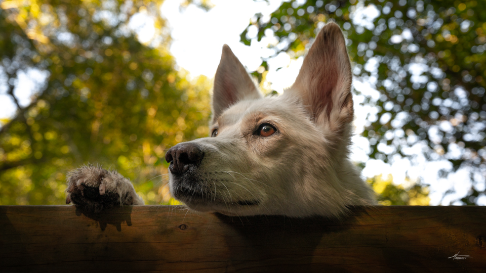 Photographe-canin-maxime-arnaudet-husky-6